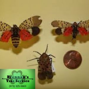 Spotted Lanternfly in New Jersey Invasive insect species