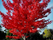 Scarlet Red Maple, Tree Care New Jersey